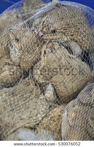 Live frogs for sale in a Thai market, caught in a net - Chinese edible frogs or East Asian bullfrogs (Hoplobatrachus rugulosus)