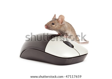live grey mouse with computer mouse isolated on white