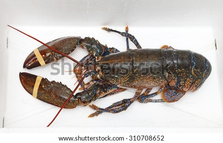 Live Lobster With Rubber Bands at Claws - stock photo
