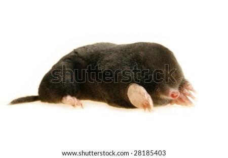 live mole showing claws and paws, studio isolated, talpa europaea - stock photo