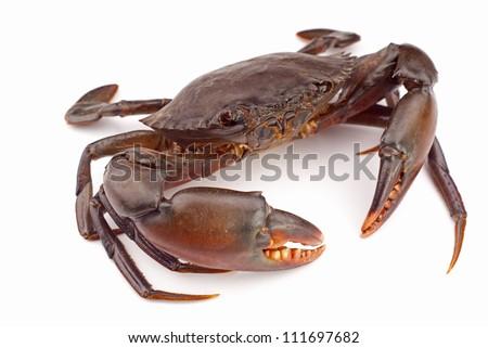 Live Mud Crab - Scylla serrata. Unsharpened file - stock photo