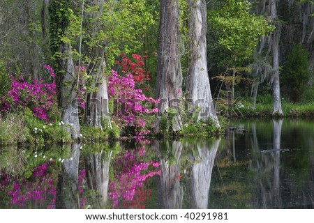 Live Oaks and colorful azaleas reflecting in pond on Magnolia Plantation in Charleston South Carolina. - stock photo