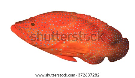 Live red Coral Grouper fish isolated on white background - stock photo