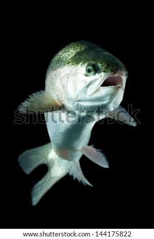 Live trout underwater, studio shot - stock photo