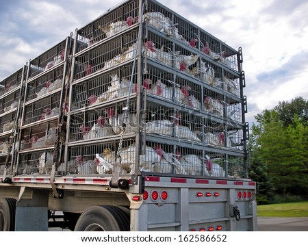 live turkeys being transported in cages by truck - stock photo