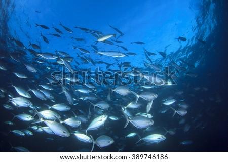 Live wild Tuna fish underwater in ocean - stock photo