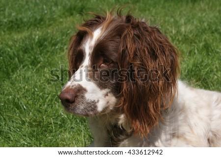Springer Spaniel Liver And White