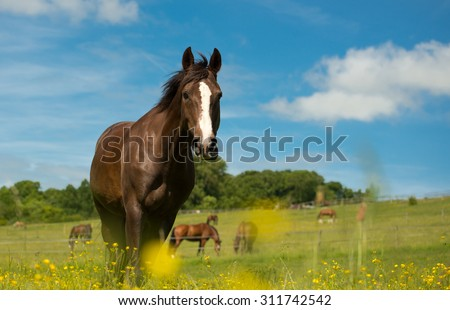 Liver chestnut horse with a white stripe, in a green grass field with yellow flowers and blue sky, eating some grass.
