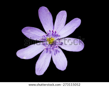 Liverleaf (hepatica nobilis) flower isolated on black - stock photo
