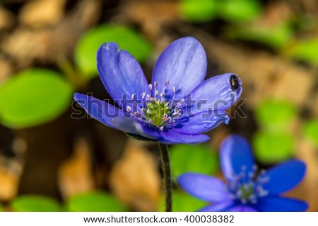 liverworts flower, (Hepatica nobilis), with small insect early Slovak spring, macro - stock photo
