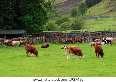 Livestock at the summer meadow - stock photo