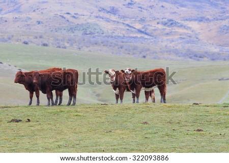 livestock cow in rural farm south island new zealand - stock photo