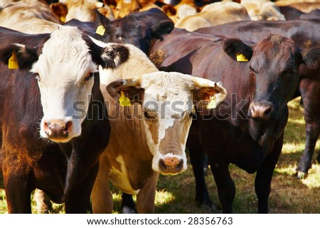 Livestock farm, herd of cows - stock photo
