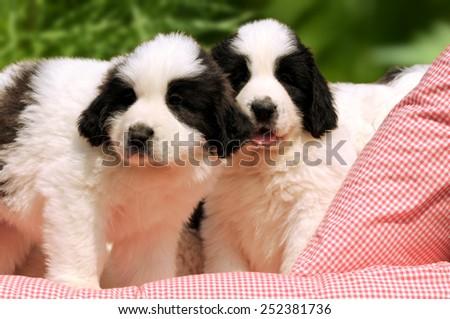 livestock guardian dog - stock photo