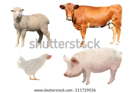 livestock;  on a white background - stock photo