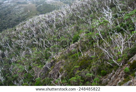 Living and Dead Eucalypt Trees Following a Major Fire in the Cradle Mtn - Lake St. Clair National Park, Tasmania, Australia - stock photo