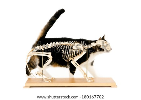 Living cat behind a cat skeleton, isolated on white - stock photo