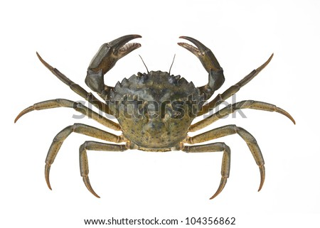 Living crab isolated on white - stock photo