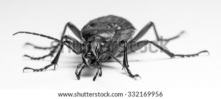 living ground beetle, shooting in studio conditions