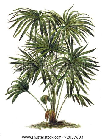 Livistona (Corypha) australis - Cabbage-tree Palm / Vintage illustration from Meyers Konversations-Lexikon 1897 - stock photo