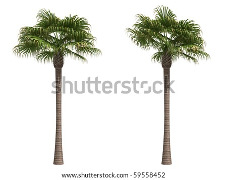 Livistona palm isolated on white