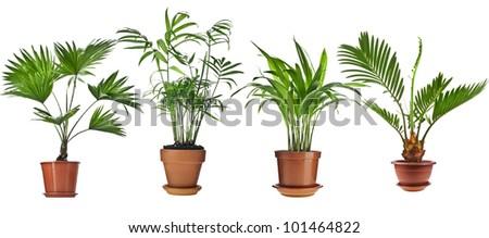 Livistona Rotundifolia, Howea , Chrysalidocarpus lutescens  , Cycas Palm Trees in flower pot, collection set,  isolated on white background - stock photo