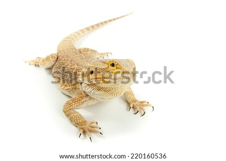 Lizard Bearded dragon is posing on white background. - stock photo