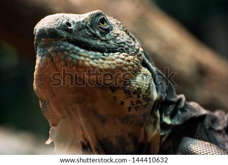 lizard (Ctenosaura melanosterna) examines the vicinity. - stock photo
