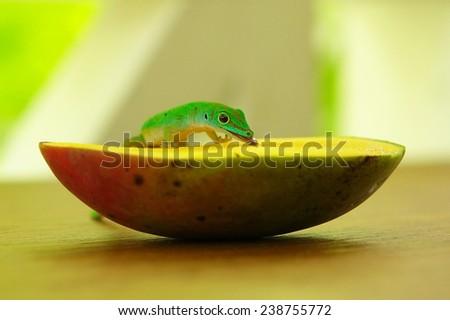 Lizard eating a mango - stock photo