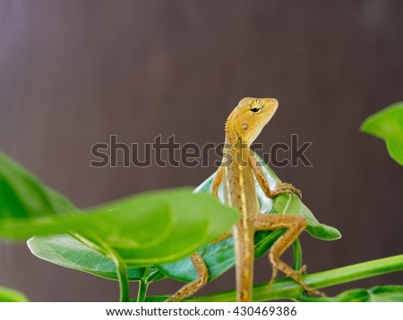 Lizard, galliwasp or chameleon is on tree which is camouflage to survive in nature (Selective focus)