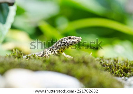 Lizard in wild nature looking in camera with head in focus. Shallow depth of field - stock photo