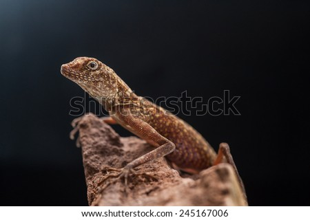 Lizard Looking out on a Rock - stock photo