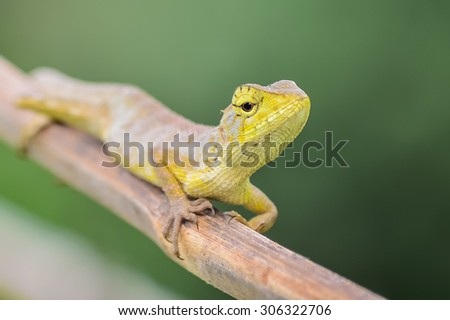 Lizard on a branch in Thailand
