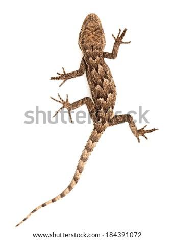 lizard on a white background. Macro - stock photo
