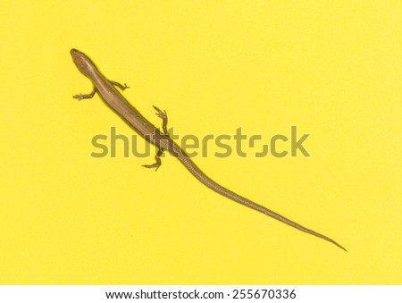 lizard on a yellow background - stock photo