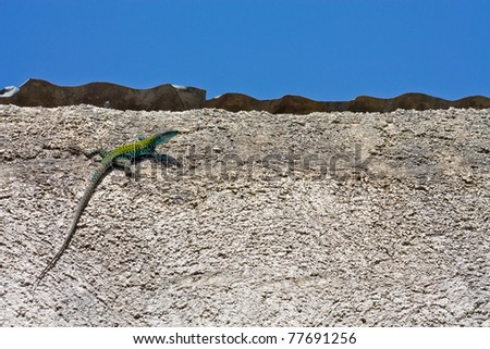 Lizard on the wall - stock photo