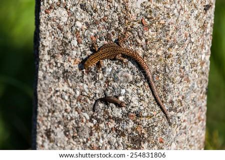 Lizard on wall - stock photo