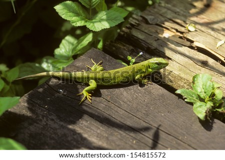 lizard reptile - stock photo