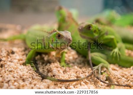 Lizard(selective focus) - stock photo