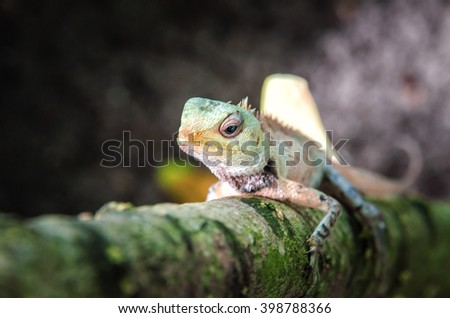 lizard. The inhabitant of the Maldives