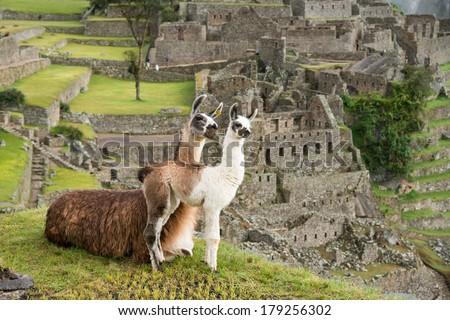 Llama at Machu Picchu, Peru. - stock photo