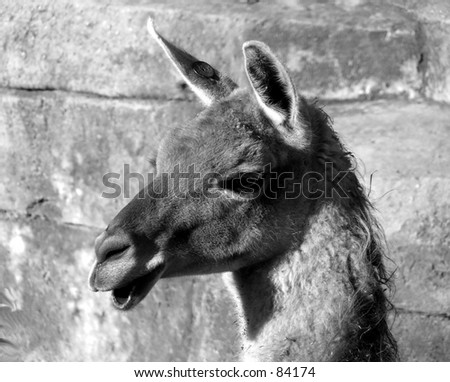 llama head black and white - stock photo