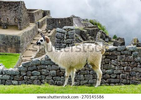 Llama in Machu Picchu - stock photo