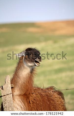 Llama (Lama glama) i - stock photo