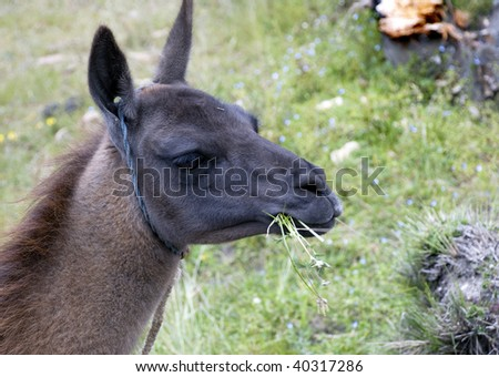 Llama of the Andes Mountains - stock photo
