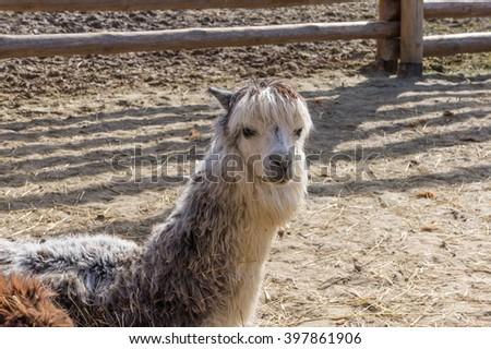 Llama, zoo - stock photo