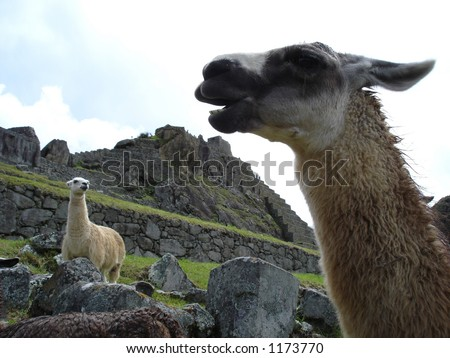 llamas at Macha Pichu - stock photo
