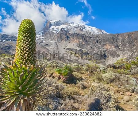 Lobelia deckenii guards Kibo, Machame-Mweka Route, Kilimanjaro National Park, near Arusha, Tanzania, Africa The Lobelia stores water in its rosettes; it takes 8 years to blossom. - stock photo