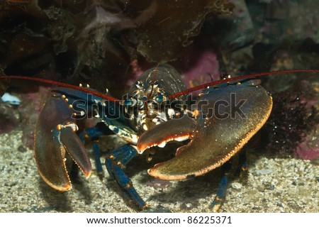 Lobster. - stock photo