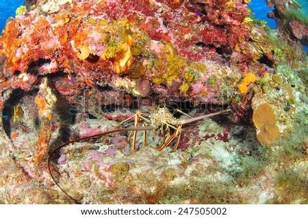 Lobster, Grand Cayman - stock photo